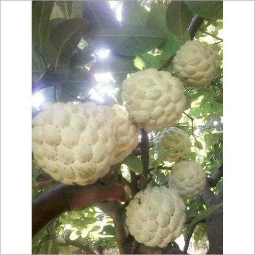 Super Goldan Custard Apple Plant