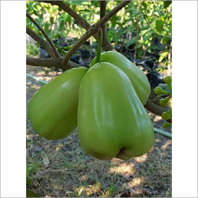 Thai Green Water Apple Plant