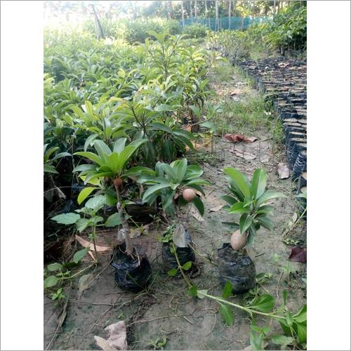 Thai Chiku Plant