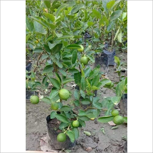 Thai Kolkata Pati Lemon Plant