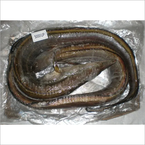BLACK EEL FISH