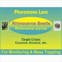 Rhinoceros oryctes - Rhino Beetle