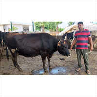 Dairy Farm Sahiwal Cow