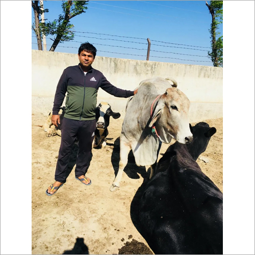 Dairy Farm Tharparkar Cow