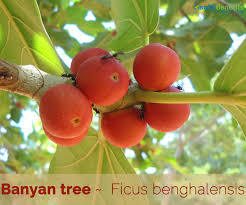 Banyan (AQUEOUS SOLUBLE)