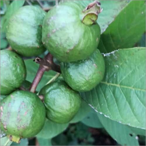 Thai 5 Guava Plant
