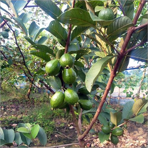 L 49 Guava Plant