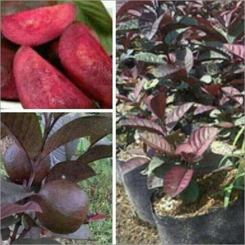 Black Stone Guava Plant