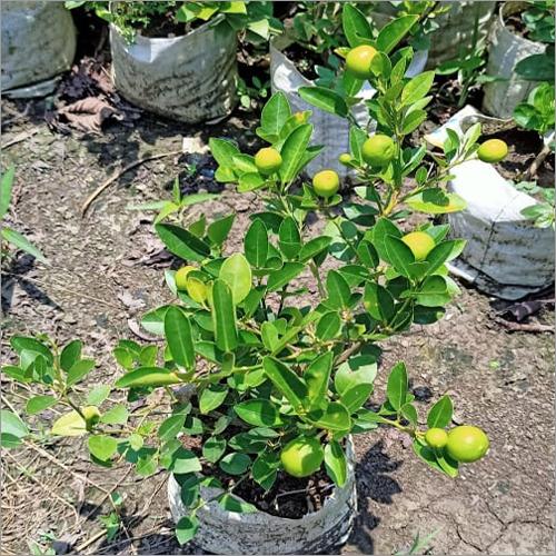 Sadabahar Kaji Lemon Plant