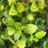 Kazi Lemon Plant
