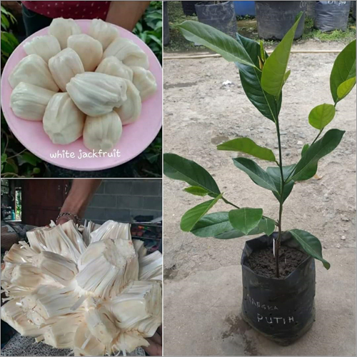 Thai White Jack Fruit Plant