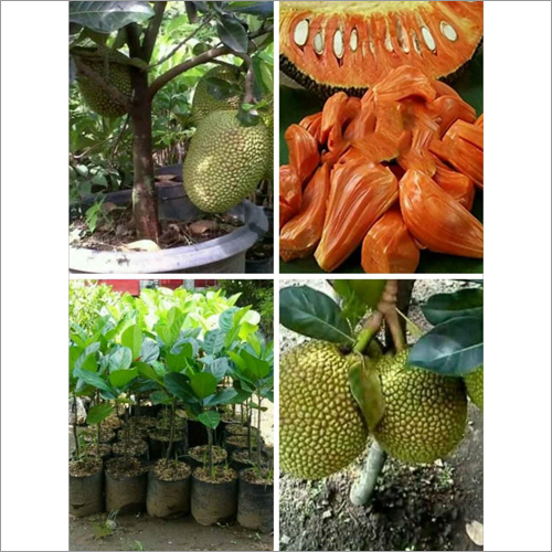 Thai Red Jack Fruit Plant