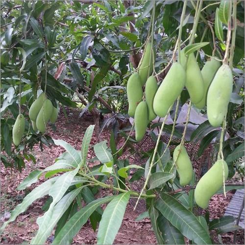 Banana Mango Plant