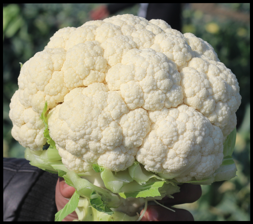 Cauliflower F1-MONALISA