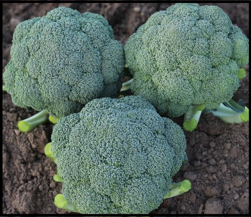 Broccoli F1-GOLDY