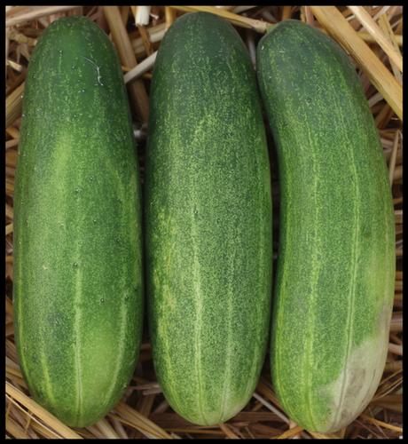 Cucumber F1-ASSAMI