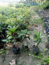 Kala Patti Chiku Fruit Plant