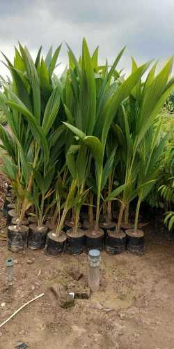 Thai Coconut Plant