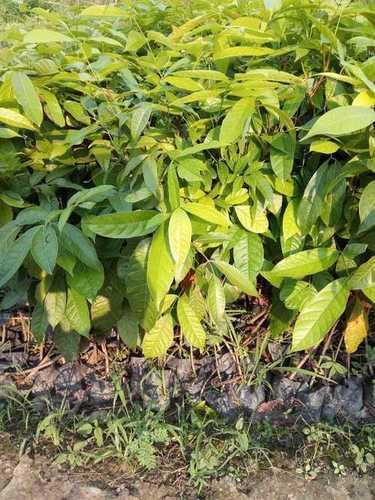 Mahagun Plant