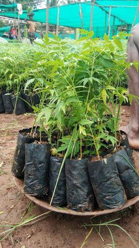 Malabar Neem Plant