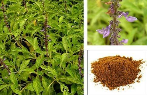 Coleus Forskholii Extract ( Coleus)