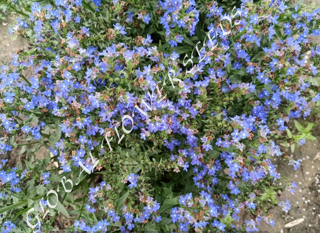 Anchusa Capensis
