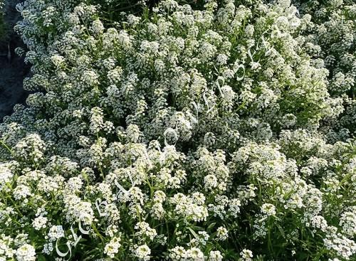Alyssum Maritimum White