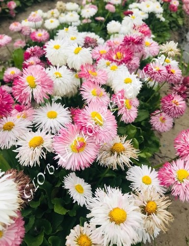 Bellis Perennis Large Fl Mixture