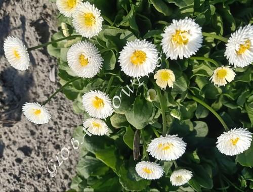 Bellis Perennis Pomponette White