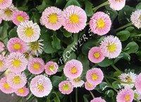 Bellis Perennis Pomponette Rose