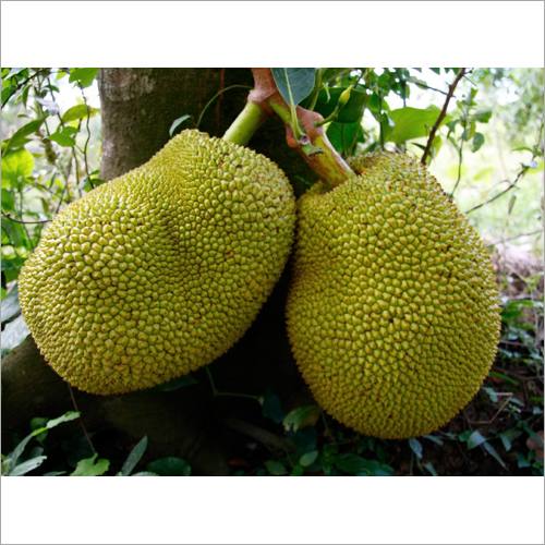 Fresh Green Jackfruits