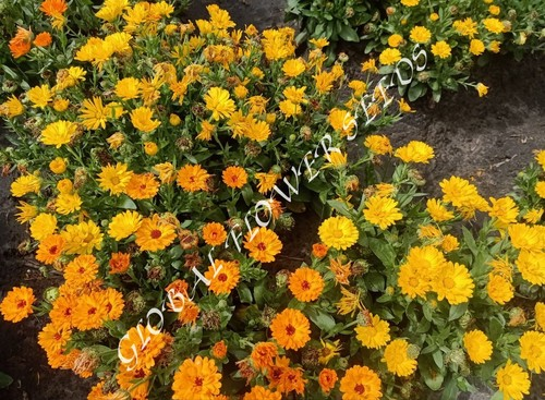 Calendula Officinalis Fista Gitana Mix