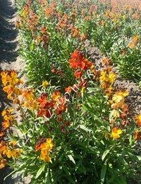 Chairanthus Cheri Mix