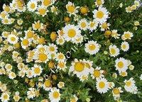 Chrysanth Paludosum