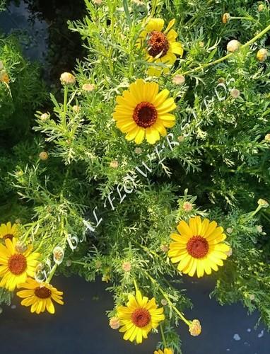 Chrysanth Segetum Eldorado