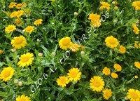Chrysanthemum Segetum Gloria