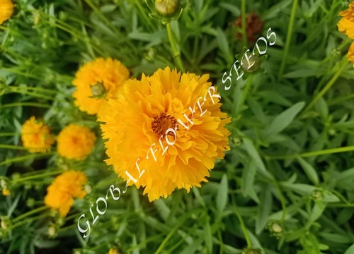 Coreopsis Grandiflora Early Sunrise Golden Yellow Double