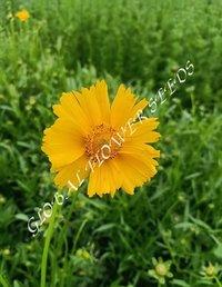 Coreopsis Lanceolata Single Flowered Yellow Brown Sterntale