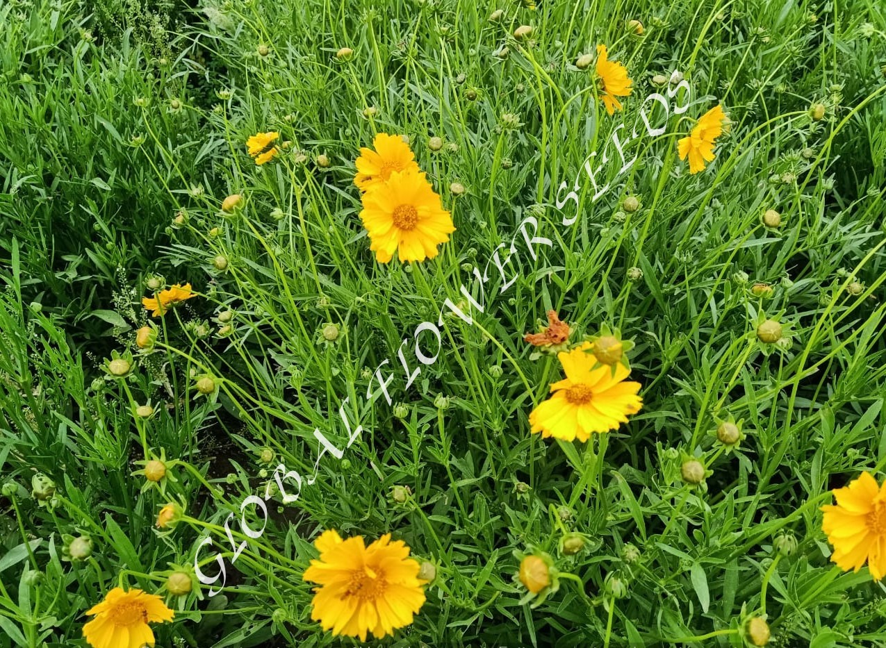 Coreopsis Lanceolata Single Flowered Yellow Brown Sterntale