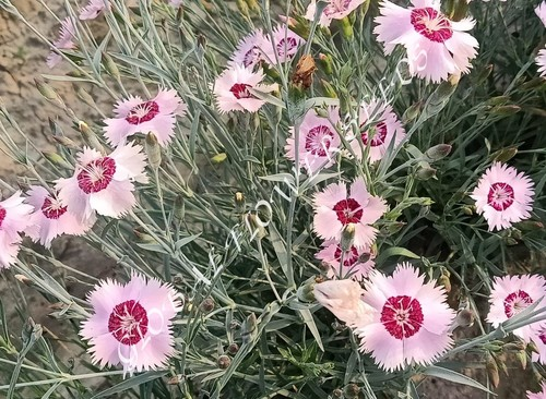 Dianthus Plumarius Single Mix