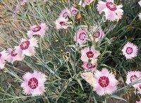 Dianthus Plumarius Single Mix