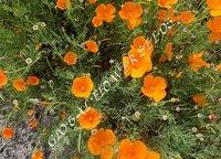 Eschscholzia Californica Orange
