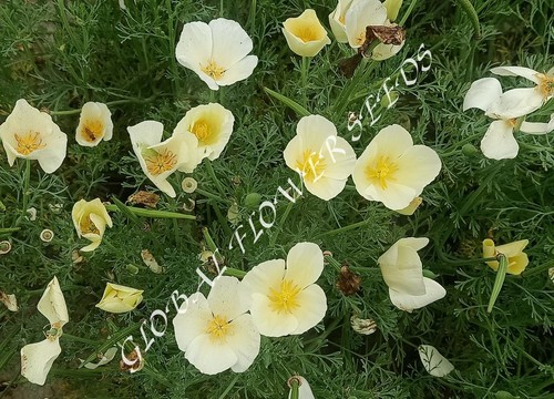 Eschscholzia Californica White