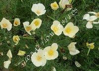Eschscholzia Californica White