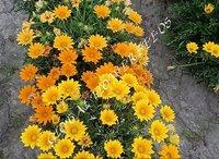 Gazania Splendens Garden Star And Star Mixture Dwarf