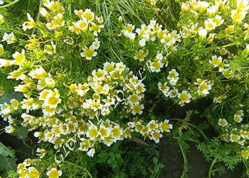 Limnanthes Douglasi Yellow And White