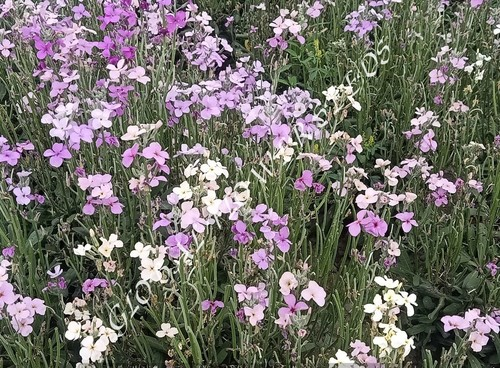 Matthiola Incana Giant Imperial Mix