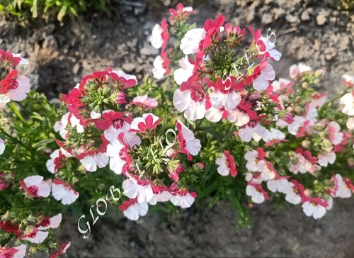 Nemesia Strumosa Compact Red And White