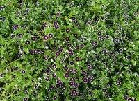 Nemophila Discoidalis Penny Black