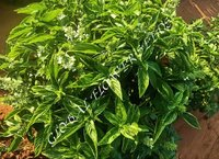 Ocimum Basilicum Genovese Ka Green